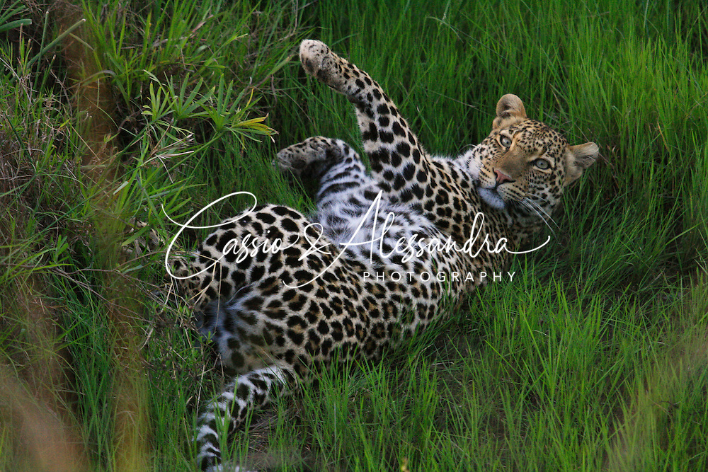 A leopard is a ferocious animal, a cat with singular agility and strenght, enough to take heavy large preys up to the top of the trees, but in essence, a cat is a cat and a leopard shares some behaviours with our domestic cats and charm us with a kitty's pose like this.