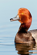 Redhead, Aythya americana, male, Washoe County, Nevada