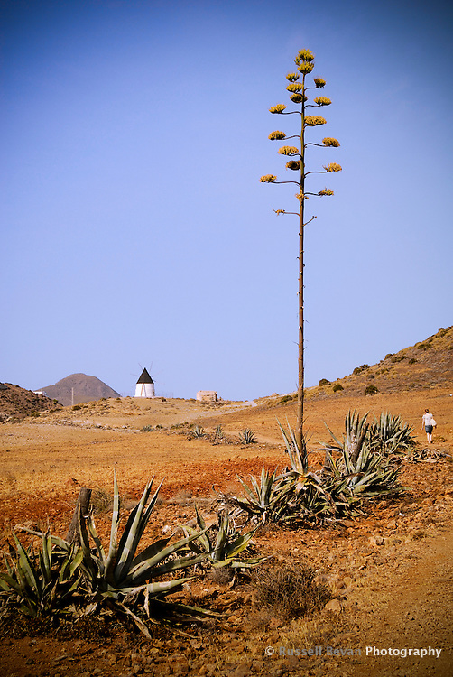 A cacti lined path leading to an old windmill in Gabo de gata, Spain