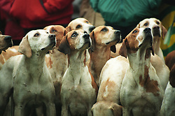 Fox hounds at a pro-hunt demonstration, Leicestershire, England, UK, 27/11/97.<br />
