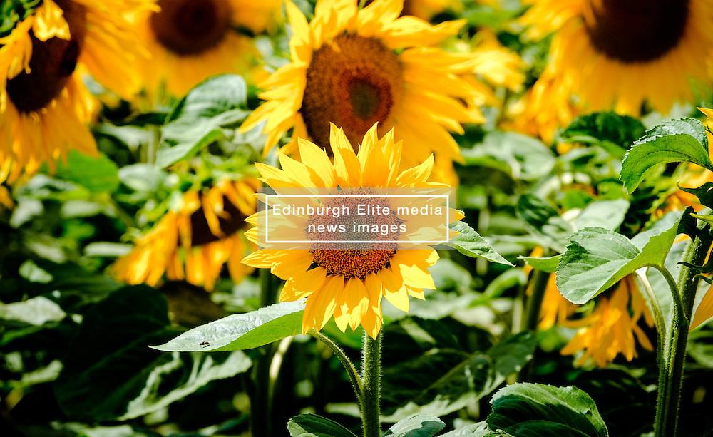 Sunflowers growing in the Pays de la Loire, France<br /> <br /> (c) Andrew Wilson | Edinburgh Elite media