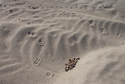 Animal tracks on a sandy bank of the Connecticut River in Maidstone, Vermont.