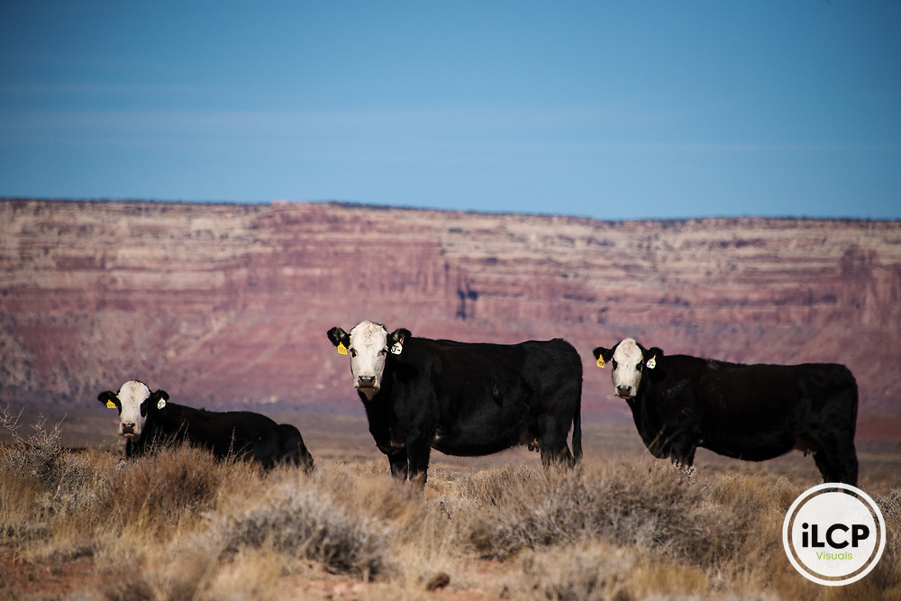 Cattle on grazing lease with a backdrop of Cedar Mesa. In spite of falsehoods stating cattle grazes had changed when Bears Ears National Monument was designated, grazing leases continued, and still continue on the Monument.  Cedar Mesa holds the history of the Ancient Puebloan People in canyon ruins, petroglyphs and pictographs, and in 12,000 years of occupation left behind. Thousands of these Native American sites remain undiscovered and in need of protection. On December 4, 2017, Bears Ears National Monument was reduced by an unprecedented 85%; Grand Staircase-Escalante National Monument by 50%.  iLCP rapid photography expedition to Bears Ears National Monument, Utah - December, 2017