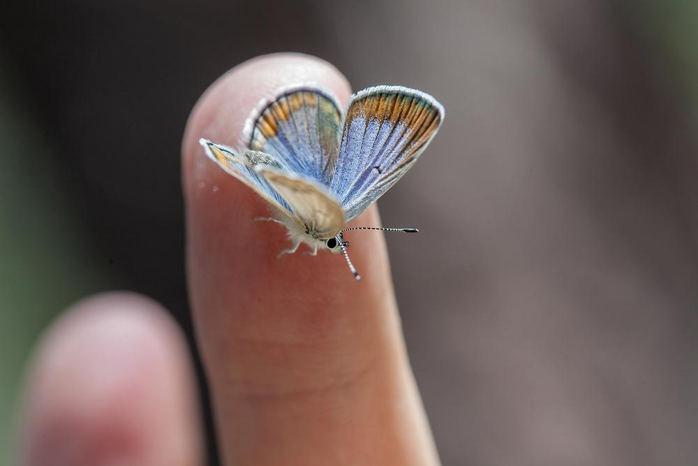 Plebejus icarioides evius (Boisduval's Blue) ♀ at Bluff Lake Meadow, San Bernardino Co, CA, USA, on 25-Jun-17