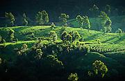 Tea estate, Central hills of Sri Lanka.