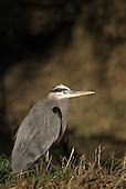 Wildlife: Shore Birds