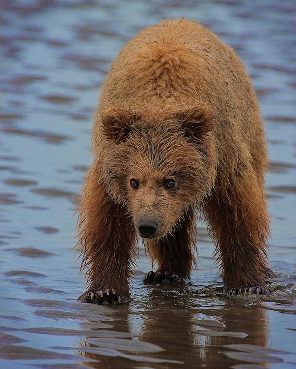 Coastal Brown Bear (Ursus arctos) cub walking on the mud flats. Lake Clark National Park, Silver Salmon Creek, Alaska.