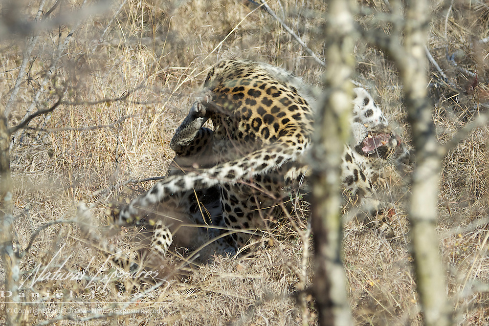Leopard, the male and female roll in a ball of fury across the land.