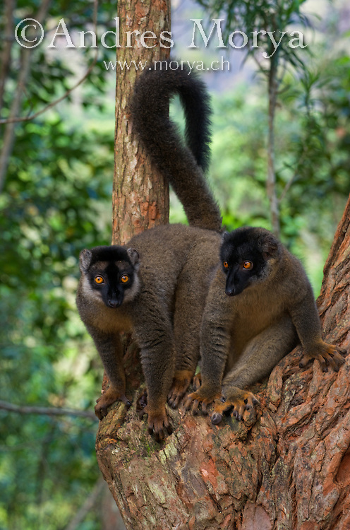 Collared Brown Lemurs (Eulemur collaris), Madagascar Image by Andres Morya