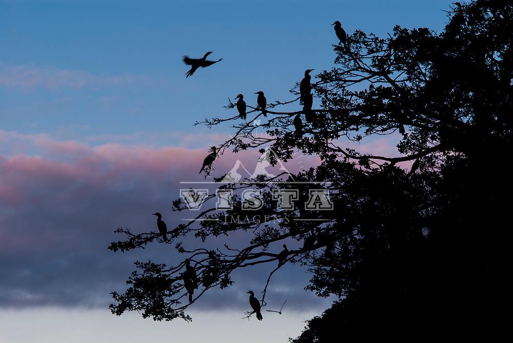 Biguas, Neotropic Cormorant (phalacrocorax brasilianus), Lagoa da Conceição, Florianópolis, Santa Catarina, foto de Zé Paiva - Vista Imagens