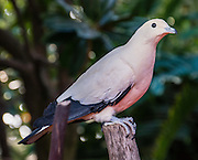 "The Pied Imperial Pigeon (or Arboreal Dove; or Nutmeg, Torresian Imperial, or Torres Strait Pigeon; Ducula bicolor) is found in forest, woodland, mangrove, plantations and scrub in Southeast Asia, ranging from Myanmar and Thailand south to Java and east to the Philippines and the Bird's Head Peninsula in New Guinea. Photographed in Bloedel Conservatory, Queen Elizabeth Park, 4600 Cambie St, Vancouver, British Columbia, Canada. Bloedel Conservatory is a domed lush paradise where you can experience the colors and scents of the tropics year-round, within Queen Elizabeth Park, atop the City of Vancouver's highest point, Little Mountain (501 feet). In Bloedel Conservatory, more than 200 free-flying exotic birds, 500 exotic plants and flowers thrive within a temperature-controlled environment. A donation from Prentice Bloedel built the domed structure, which was dedicated in 1969 ""to a better appreciation and understanding of the world of plants,"" and is jointly operated by Vancouver Park Board and VanDusen Botanical Garden Association. A former rock quarry has been converted into beautiful Queen Elizabeth Park with flower gardens, public art, grassy knolls."