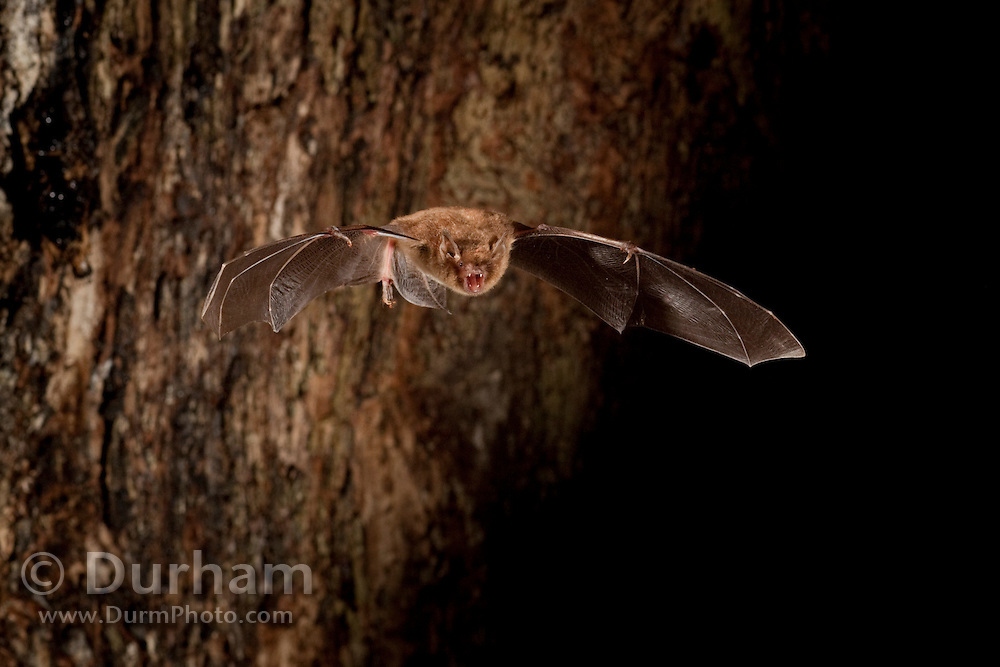 A southeastern myotis (Myotis austroriparius) emerges from a hollow tree roost at dusk. Central Texas.