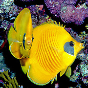 Golden Butterflyfish inhabit reefs. Range Red Sea & Gulf of Aden endemic.