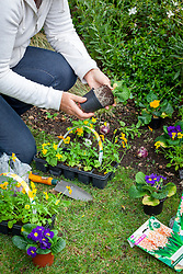 Planting bulbs and spring bedding plants in a border in autumn