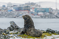 Fur seal on Torgersen Island across from Palmer Station on Anvers Island, Antarctica.