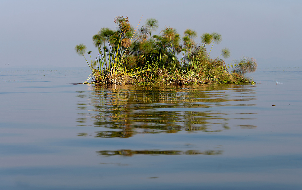 An islet of floating papyrus drifts on Lake Naivasha, Kenya.