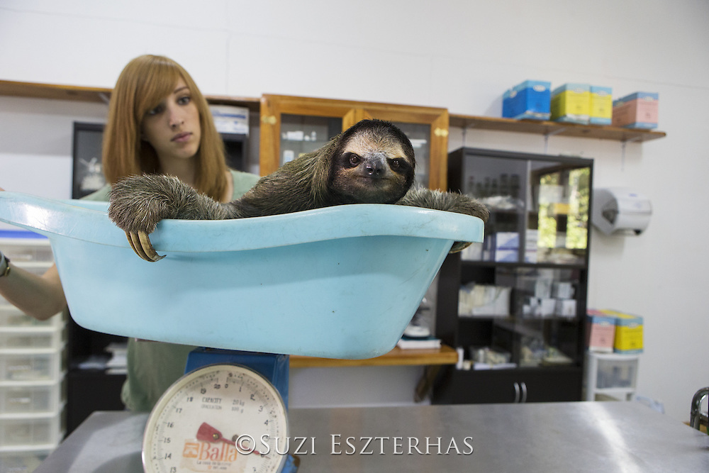 Brown-throated Three-toed Sloth <br /> Bradypus variegatus<br /> Rebecca Cliff, sloth biologist, weighing sloth prior to putting on &quot;sloth backpack&quot;<br /> Aviarios Sloth Sanctuary, Costa Rica<br /> *Model release available