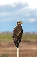 A juvenile Bald Eagle (Haliaeetus leucocephalus) sitting on a fence post near Boundary Bay in Delta, British Columbia, Canada.