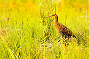 King Rail in the pannes at Allen Pond