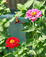 Clearwing Hummingbird Moth. Image taken with a Nikon D5 camera and 105 mm f/1.4 lens.