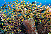 Golden Sweepers swarm around Barrel Sponges<br /> <br /> Shot in Indonesia