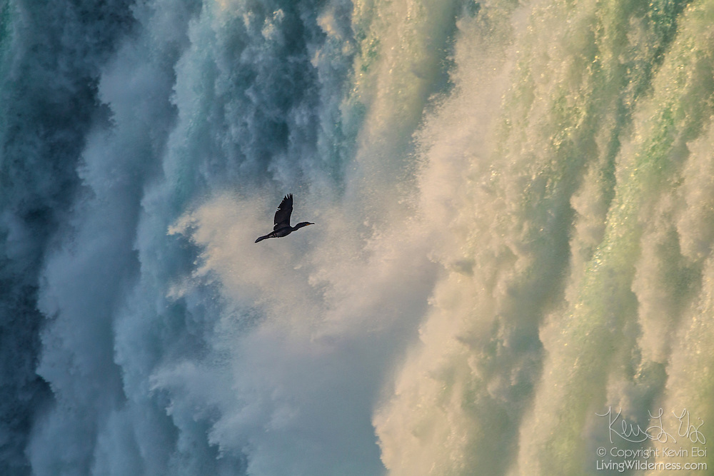 A double-crested cormorant (Phalacrocorax auritus) flies into the mist from Horseshoe Falls, one of the waterfalls that make up Niagara Falls on the border of New York and Ontario.