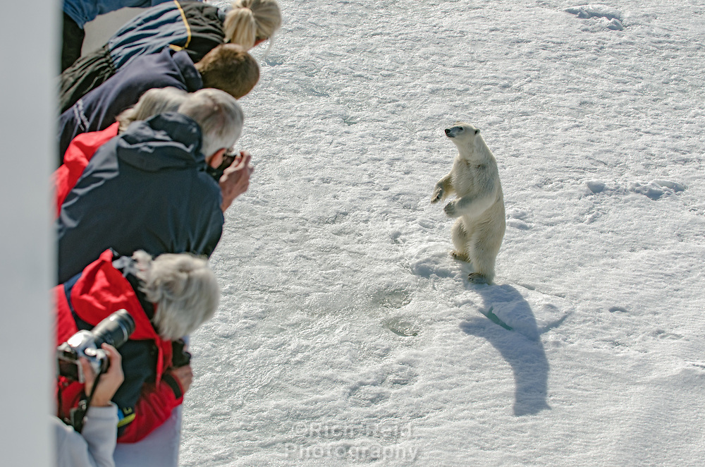 A polar bear, Ursus maritimus standing observing tourists on a ship from the sea ice near Bjornsundet on Spitsbergen in the Svalbard archipelago, Norway.