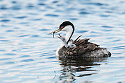 Western Grebe, Aechmophorus occidentalis, adult feeding chicks, South Dakota