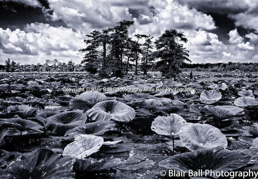 Lotus pads on Reelfoot Reel Foot Lake