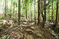 Trees with roots in forest; Koh Pha Ngan; Thailand