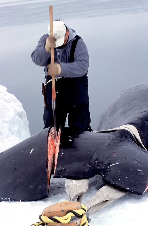 Barrow, Alaska, native whaler cutting off the tail fins of a bowhead whale before hauling it onto the ice