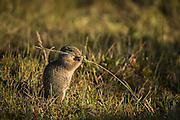 These ground squirrels seldom live more than four or five years, largely due to predation by raptors, small carnivores such as weasels and larger carnovores such as coyotes and badgers. Due to the long winters, they hibernate for 8-9 months, emerging to feed on fresh green grasses, and later seeds.