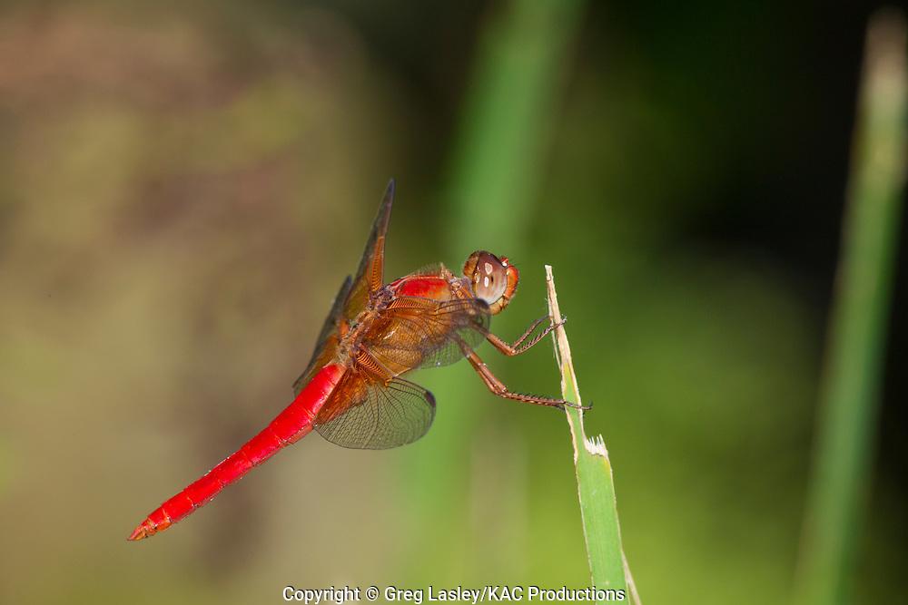 Neon Skimmer.Libellula croceipennis.male.Zilker Park,.Austin,.Travis Co., Texas.7 July 2010
