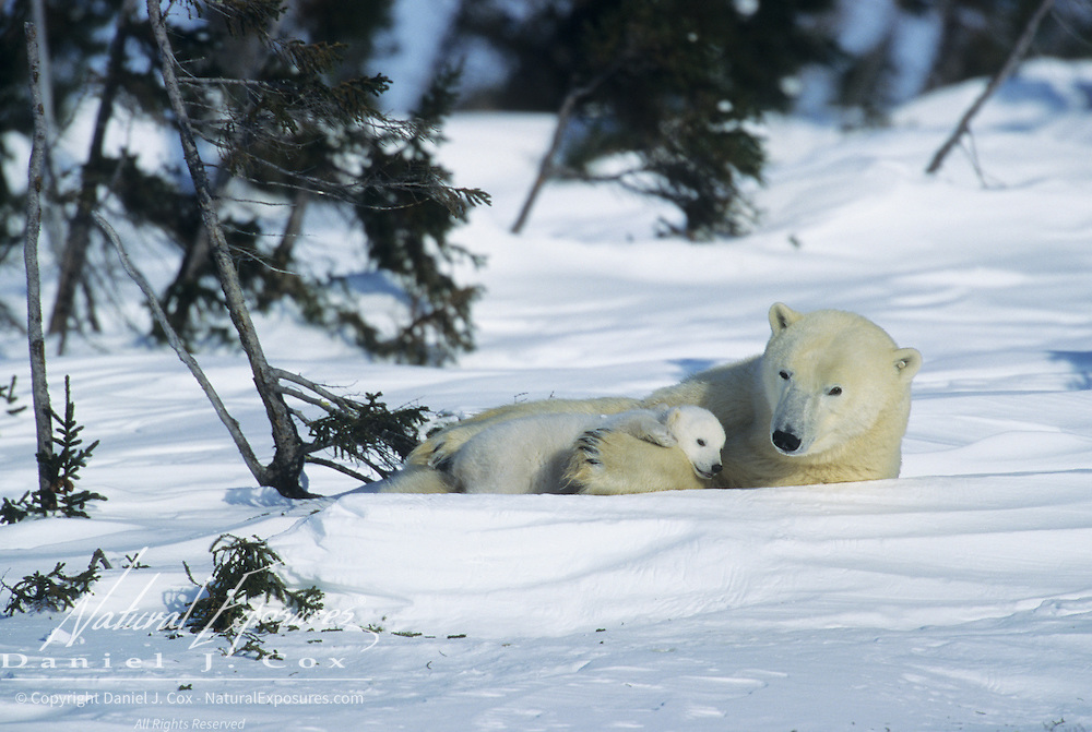 Polar Bear mother resting with a very young cub. Wapusk National Park near Churchill, Manitoba, Canada