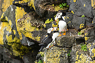 Horned Puffins (Fratecula corniculata) crowd on to the cliffs on St. Paul Island in Southwest Alaska. Summer. Afternoon.