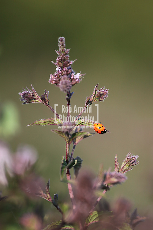 © Rob Arnold.  06/08/2014. Hampshire, UK. A ladybird on peppermint in the fields on the Malshanger estate. The peppermint will soon be harvested to be turned into tea and oil, which is used in chocolate making and other food products. The farm grows mint, lavender and camomile as their 'aromatic' crop, along with the staple farm crops such as wheat, barley and oats. The oil is available direct from Summerdown Mint, but is also available from Neal's Yard in London. The tea is sold at leading retailers nationwide, including Booth's, Harvey Nichols, Partridge's & Waitrose. Photo by Rob Arnold