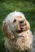 Local dogs in London - this is Gilbert the cavapoo