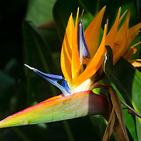 A Bird of Paradise blooms along Ocean Avenue on Wednesday, April 3, 2013.  Bird of paradise is a tropical-looking plant with paddle-shaped leaves and exotic flowers that resemble a bird's beak.