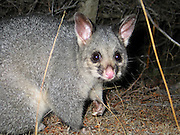 "Native to Australia and the largest of the possums, the Common Brushtail Possum is a nocturnal, semi-arboreal marsupial of the family Phalangeridae. Fur color patterns tend to be silver-gray, brown, black, red, or cream. The bushy tail has a hairless patch underneath and a prehensile tip for gripping branches. It is nocturnal like most possums, and in the wild mainly eats eucalyptus leaves but has been known to eat small mammals such as rats. It is the Australian marsupial most often seen thriving in cities, where they like fruit trees, vegetable gardens, and kitchens. It is a major agricultural and conservation pest in New Zealand where it was introduced in the 1800s. Its scientific name Trichosurus vulpecula is from the Greek for ""furry tailed"" and the Latin for ""little fox"", also known as Phalangista vulpine. Photo is in Flinders Chase National Park, Kangaroo Island, South Australia."