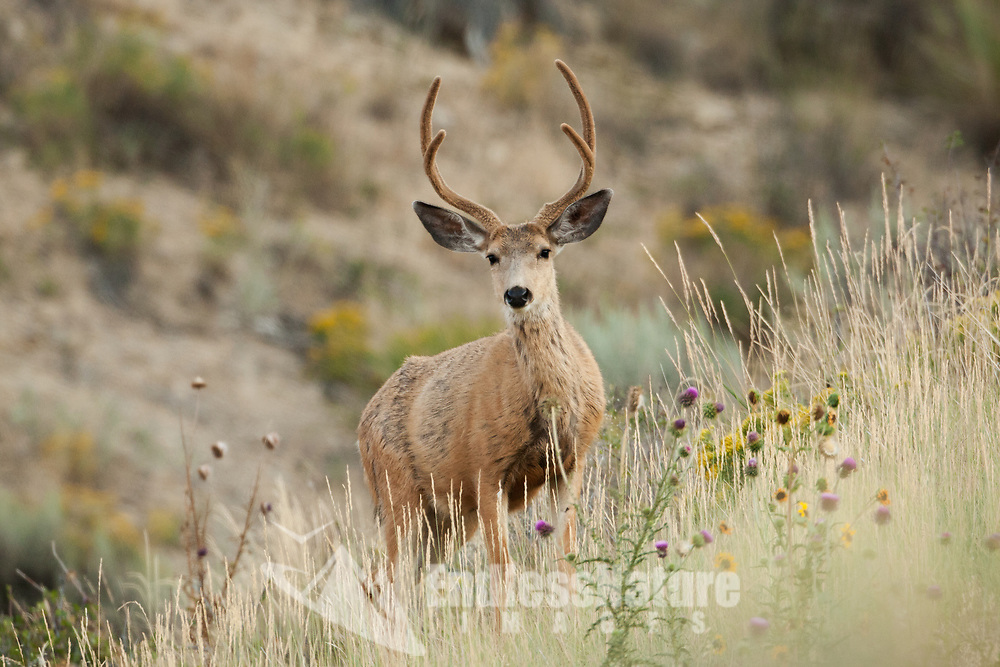 An August Mule Deer in velvet feeds its way up a mountain valley grass hill.