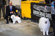 New York, NY - 16 February 2015. American Eskimo dog Nuuktok's Atka Inukshuk, right, waiting behind the scenes prior to the non-sporting dog group competition of the Westminster Kennel Club Dog Show. In the background is Bichon frise Lomar Swag's One Tin Soldier, which won first place group; Atka Inukshook won fourth.