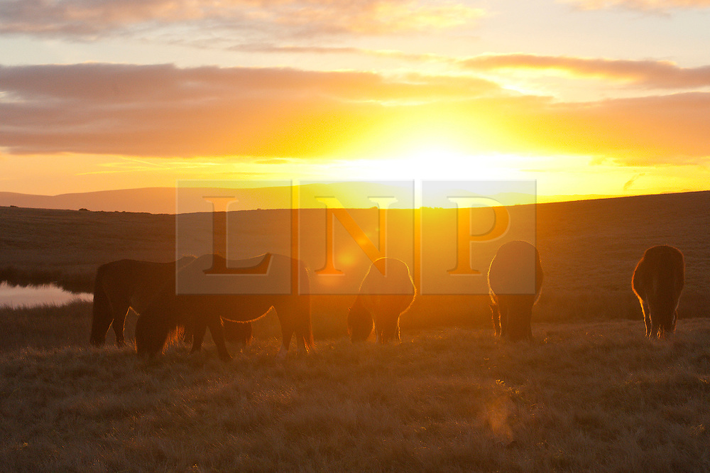 © Licensed to London News Pictures. 09/01/2019. Builth Wells, Powys, Wales, UK. Welsh Mountain Ponies are seen at sunrise grazing on the Myndd Epynt moorland, at about 400 metres above sea-level, near Builth Wells in Powys, Wales, UK, where temperatures dropped overnight to freezing. credit: Graham M. Lawrence/LNP