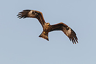 Black Kite Milvus migrans. Wingspan 145-155cm. A medium-sized raptor that is most easily confused with a Red Kite or Marsh Harrier. All birds have mainly brown plumage that is palest on the head. In flight, note the forked tail, although this can appear straight-ended when broadly fanned. Note also the pale panel on the outer flight feathers of the otherwise rather dark wings. At very close range, the yellow base to the bill and the yellow legs can sometimes be discerned. The Black Kite breeds in mainland Europe and winters in Africa. Vagrants to our region usually turn up in spring and autumn, and perhaps 10 or so might be recorded in a good year. However, most individuals seldom linger in one location for very long and so usually they are seen by just a handful of lucky observers.