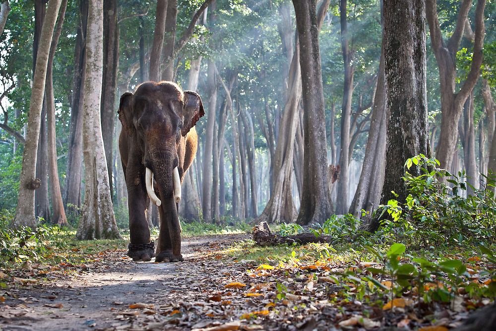 Rajan, the last of his kind in his element, taking a walk through the forest on Havelock island, Andamans