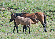 A foal nurses from her mother