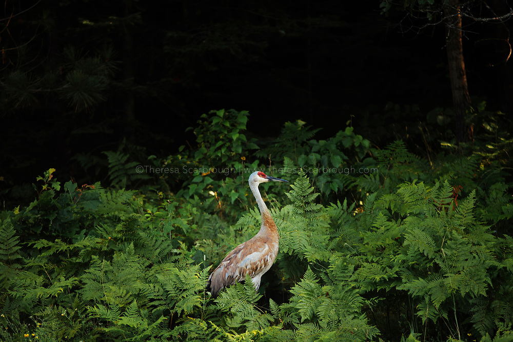 A migrating male Sandhill Crane walks through a patch of ferns in Chequamegon-Nicolet National Forest