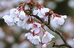 Prunus incisa 'Kojo-no-mai' - Fuji cherry