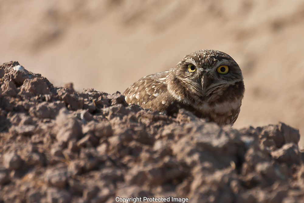 Burrowing Owl looking over dirt mound to see how close we are to the burrow.