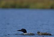Common Loon, Loon, Loon chicks, Wonder Lake, Denali National Park, Alaska