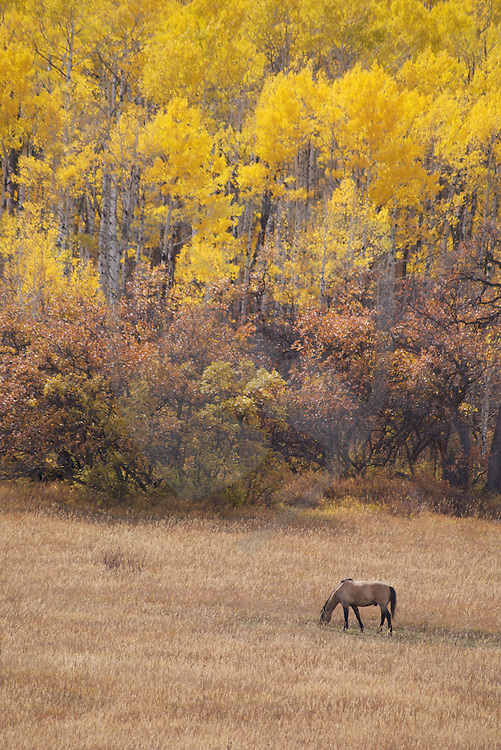 just north of the town of durango, colorado, in the san juan range of the rocky mountains, horses roam ranches in front of the yellow autumn aspen forest.  beautiful scenery as this draws thousands  of travelers to the four corners region and the rocky mountains of colorado.